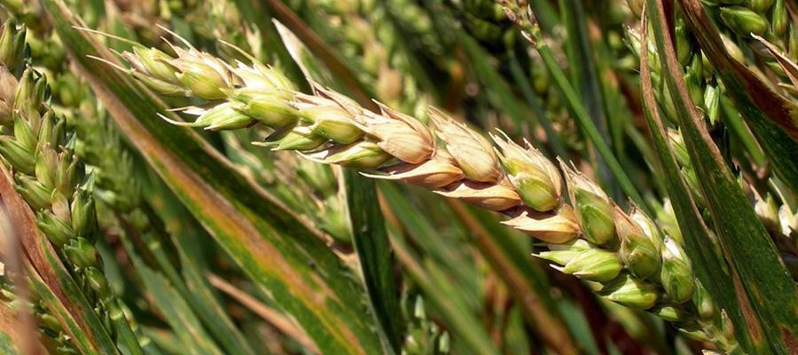 fusariosis en trigo
